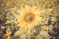 Yellow flower sunflower meadow field vintage retro Stock Image