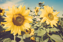 Yellow flower sunflower meadow field vintage retro Stock Images