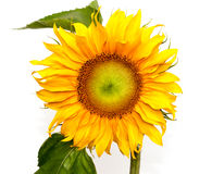 Yellow flower sunflower on white background Stock Image