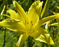 Yellow flower on a sunny day against a green background. Grasses, summer day, bright sun stock photo