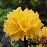 Jealously of yellow flower royalty free stock photography