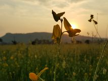 Yellow flower. Sunset yellow field sky royalty free stock photo
