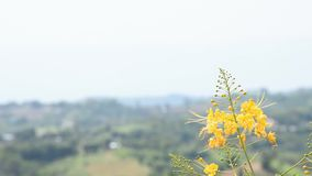 Yellow flower that sway in the wind in garden Background mountains.  stock video