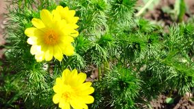 Yellow flower swaying in the wind. The sun's rays are reflected from a flower petal. Natural vegetable background. Sunny day. Close-up stock video footage