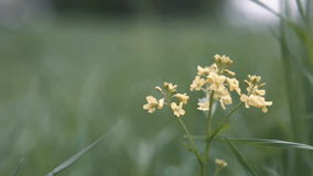 Yellow flower sways in the wind stock video footage