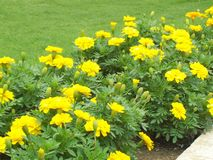 Yellow flower. Are the symbol of happiness Royalty Free Stock Photography