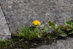 Yellow weed on tarmac. A yellow flower on a tarmac flagstone stock photos