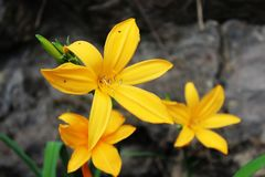 Yellow Flower at Tenerife, Canary Islands. Flowers and Plants at Tenerife, Canary Islands Flores y plantas en Tenerife, Islas Canarias royalty free stock images