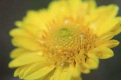 Yellow flower texture, macro pattern, Beautiful photo from a flower in macro with dew or water drops on it stock photos