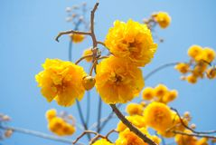 Yellow flower Thailand named `Blossom Supanniga` Royalty Free Stock Image