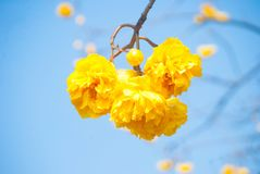 Yellow flower Thailand named `Blossom Supanniga` Stock Photography