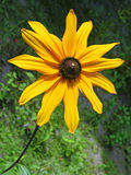 Yellow flower of topinambour Royalty Free Stock Photos