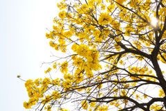 Yellow flower tree Royalty Free Stock Photography