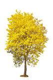 Yellow flower tree, golden trumpet, tabebuia, tree of gold, isol Royalty Free Stock Photos