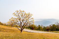 Yellow flower tree on high mountain Royalty Free Stock Photo