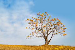 Yellow flower tree on mountain Stock Photography