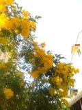 Yellow flower tree. Tree and sky Stock Image