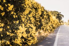 Yellow flower on tree in summer nature landscape beautiful path spring green plant on country area with sky background stock photography