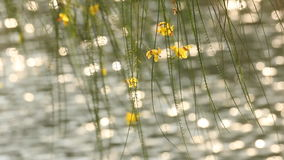 Yellow flower on tree with sunlight reflections on water surface stock video footage
