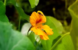 Yellow flower of Tropaeolum stock image