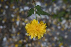 Kerria japonica, Plenifolia, Jews Mantle. Single yellow flower out of focus petals in the background. Close up. Asian flower.  Com stock images