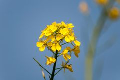 Mustard flower and blue sky royalty free stock images