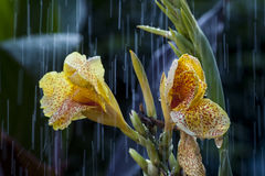 The Yellow Flower Under The Rain. Just a summer rain in the garden Royalty Free Stock Image