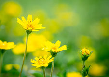 Yellow flower for use as background Stock Photography