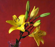 Lily garden. Yellow flower in a vase  on a red background Stock Photo