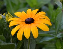 Yellow Black Eye Susan Flowe Stock Photos