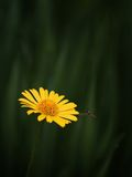 Yellow flower and wasp Stock Photography