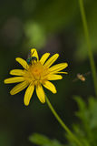 Yellow flower with wasp Stock Images