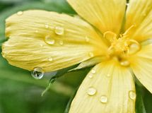 Yellow flower water droplets stock images