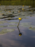 Yellow flower from water lily. Water lily with yellow flower Royalty Free Stock Images