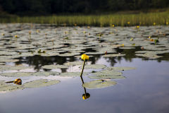 Yellow flower and water lily. Yellow flower from water lily reflected in river Royalty Free Stock Photo