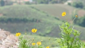 Yellow flower or Wedelia trilobata L. Hitchc That sway in the wind in garden Background mountains.  stock footage
