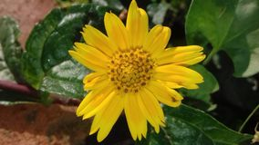 Yellow Flower. Yellow weed flower looking to beautiful to take out Royalty Free Stock Image