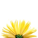 The yellow flower on a white background, Royalty Free Stock Image