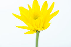 Yellow flower on white Stock Images