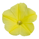 Yellow flower. On white background Stock Photography