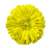 Yellow  flower, white isolated background with clipping path.  Closeup Royalty Free Stock Image
