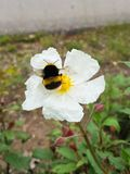 Yellow flower with white petals and a bumblebee eating its nectar.  stock images