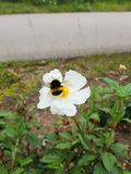 Yellow flower with white petals and a bumblebee eating its nectar.  royalty free stock images
