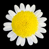 Yellow Flower with White Petals Isolated on Black Royalty Free Stock Photo