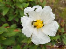 Yellow flower with white petals and many insects on it.  royalty free stock photos