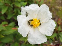 Yellow flower with white petals and many insects on it.  stock image