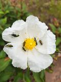 Yellow flower with white petals and many insects on it.  stock images