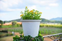 Yellow flower in white pot on outdoors and farmland. Background stock images