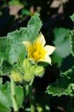 Yellow flower of wild cucumber Stock Photo