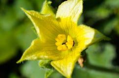 Yellow flower of wild cucumber Stock Photos